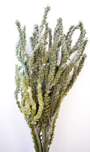 Dried foliage bunch - buxifolia preserved