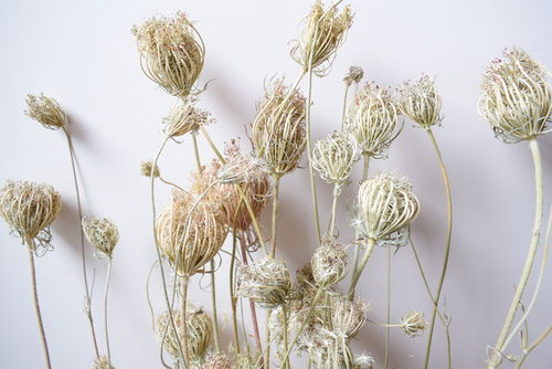 Dried carrot seed heads bunch natural