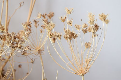 Umbels dried flower bunch natural