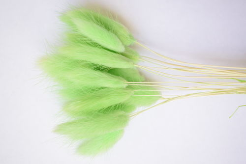 Small lagurus dried grass bunch spring green