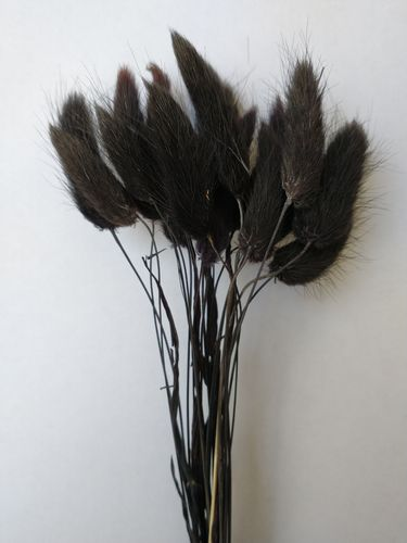 Small lagurus dried grass bunch black