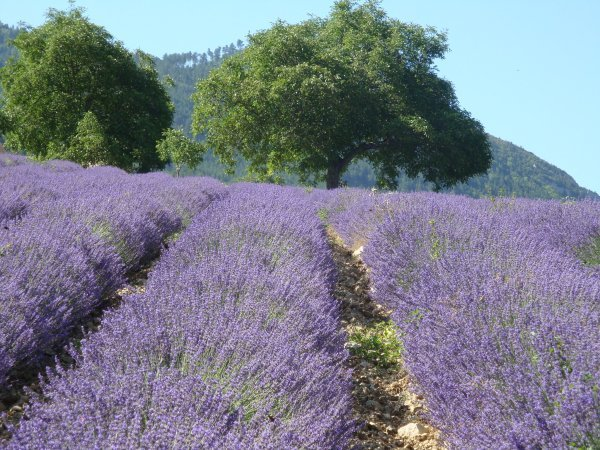 Provence lavender field growing fragrant dried lavender