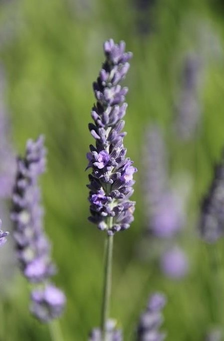 fragrant dried lavender flowers france